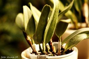 Cattleya - katleja