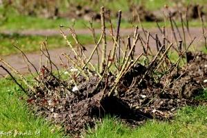Stopniowo odsłaniamy z zimowego okrycia krzewy róż