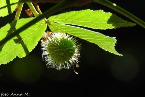 Aesculus hippocastanum - kasztanowiec biały, młody owoc