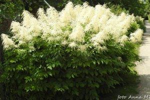 Aruncus dioicus - parzydło leśne
