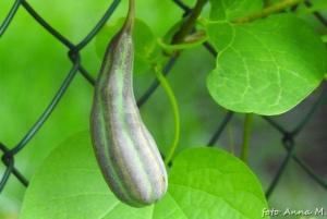 Owoce kokornaku przypominają ogórki