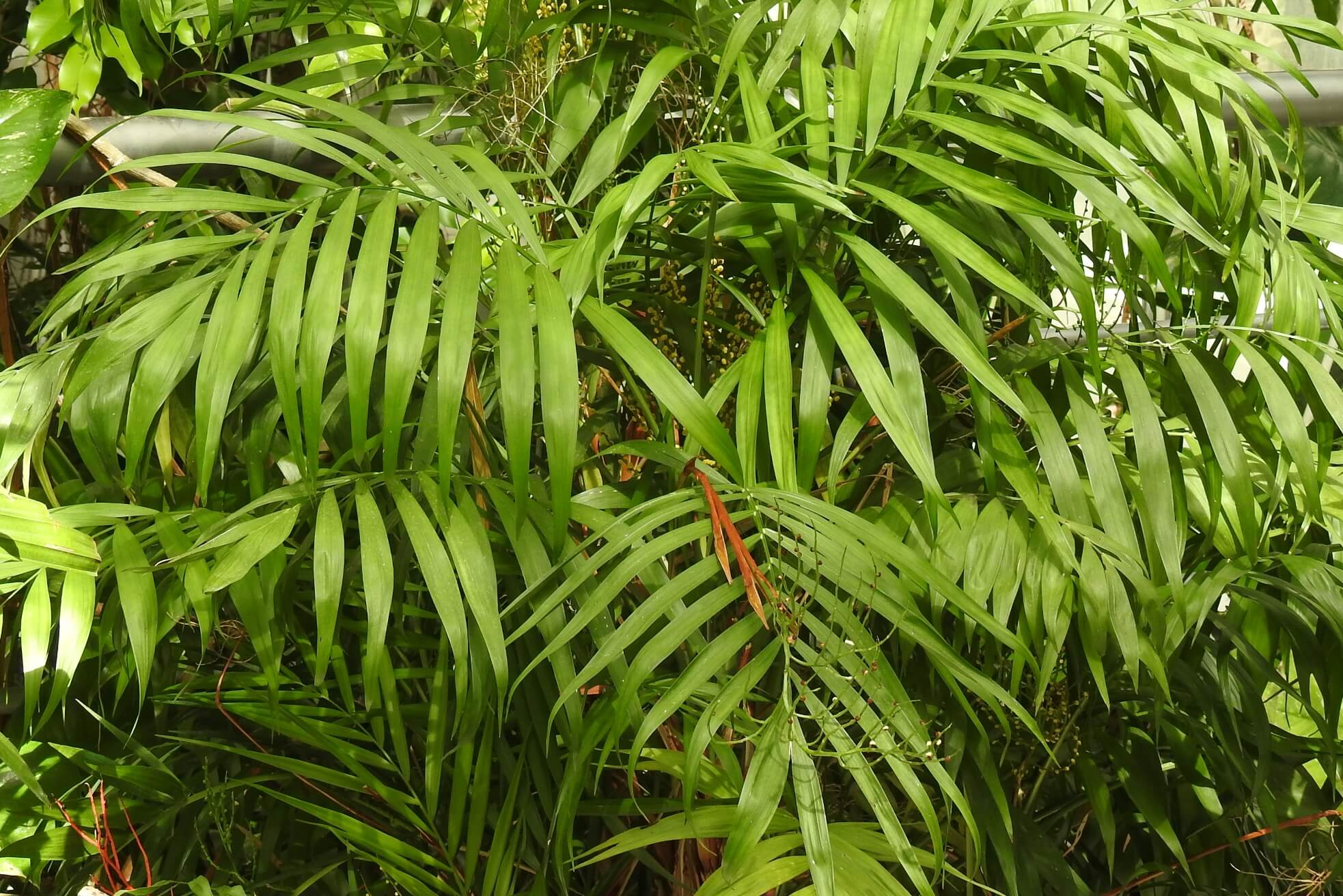 Chamaedorea elegans – chamedora wytworna, palma koralowa