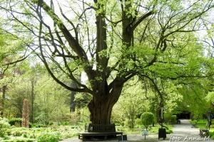 Acer campestre - klon polny, paklon