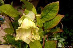 Kwiaty kobei są początkowo zielonkawe, potem zmieniają barwę na fioletową