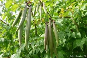 Campsis radicans - milin amerykański, owoce