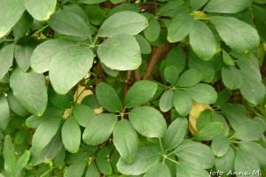 Akebia quinnata - akebia pięciolistkowa