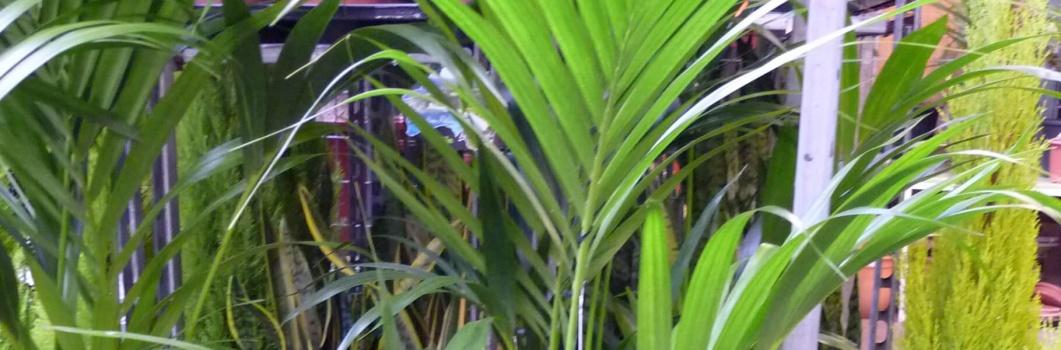 Areca catechu – palma arekowa, palma betelowa, żuwipalma