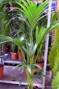 Areca catechu - palma arekowa