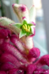 Kangurza łapa - otwarty kwiat
