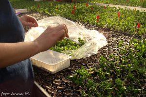 Przedwiośnie to dobry czas na wykonywanie sadzonek pelargonii