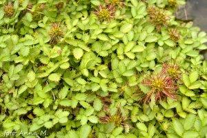 Acaena microphylla – acena drobnolistna
