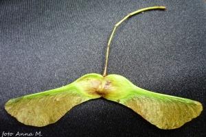 """Owoce klonów - skrzydlaki (""""noski"""")"""