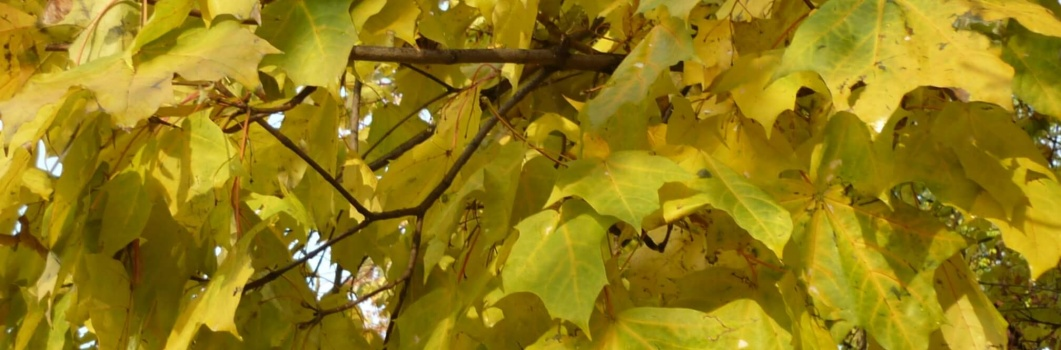 Acer platanoides – klon zwyczajny