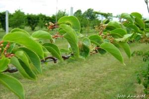 Actinidia arguta - aktinidia ostrolistna, owijający się pęd