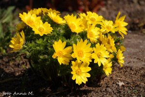 Adonis vernalis - miłek wiosenny