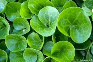 Asarum europaeum - kopytnik pospolity, zimozielone liście