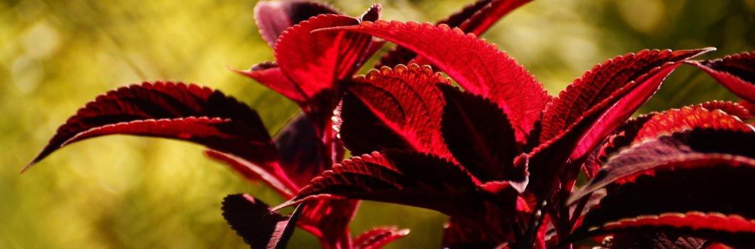 Coleus blumei, Solenostemon scuttellarioides – koleus Blumego, pokrzywka brazylijska