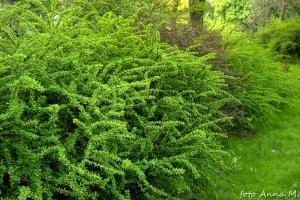 Berberis thunbergii - berberys Thunberga, cenny krzew żywopłotowy