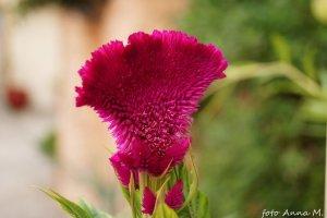 Celosia argentea - celozja srebrzysta