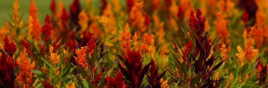 Celosia argentea – celozja srebrzysta