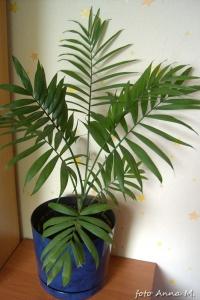 Chamaedorea elegans - chamedora wytworna, palma koralowa