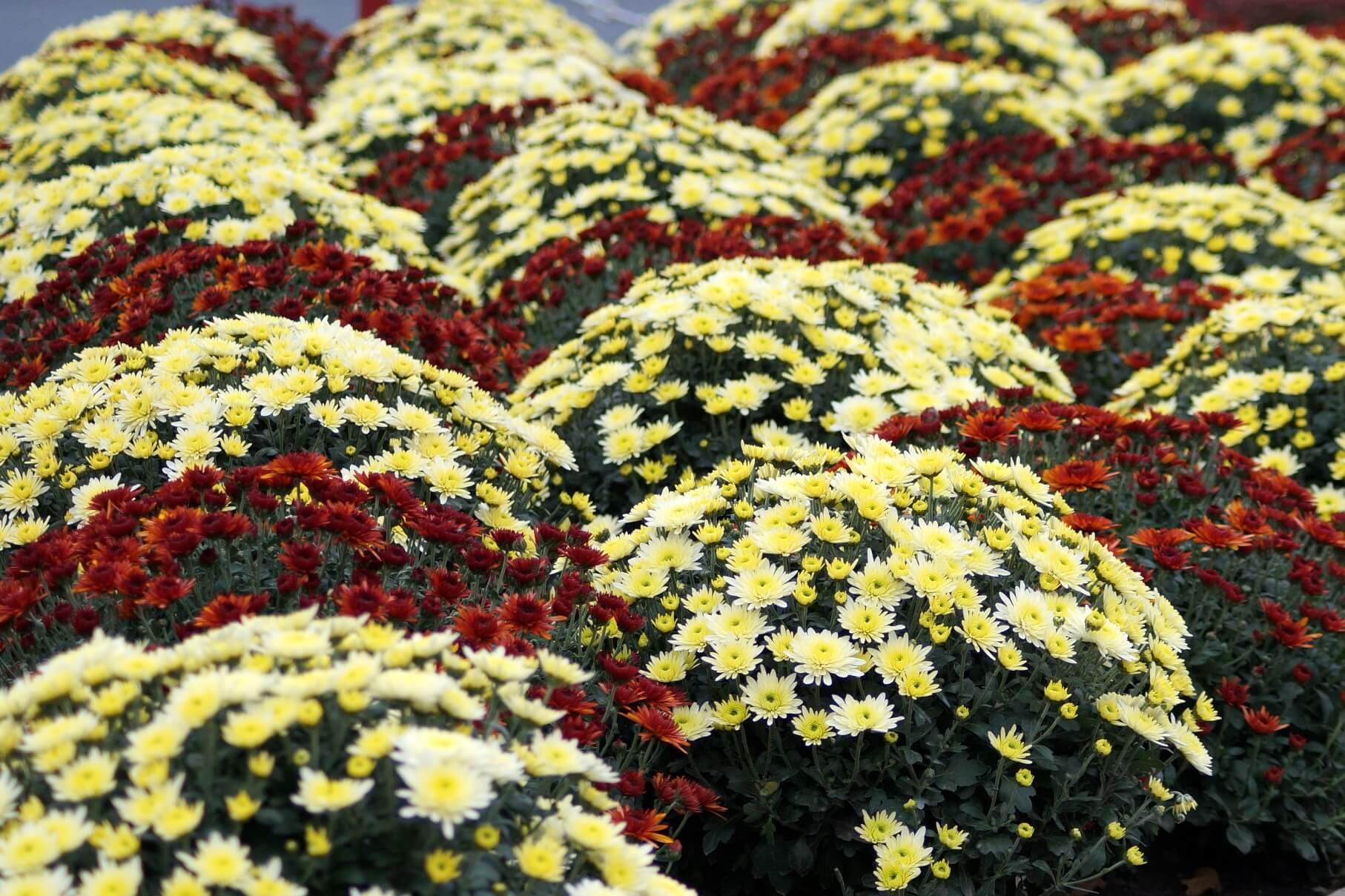 Chrysanthemum grandiflorum, Dendranthema grandiflora – chryzantema wielkokwiatowa