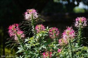 Cleome spinosa – kleome ciernista