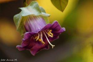 Cobaea scandens - kobea pnąca