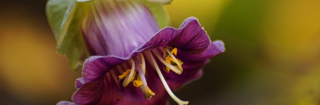 Cobaea scandens – kobea pnąca, sępota