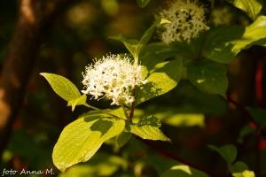 Cornus alba - dereń biały, kwiaty