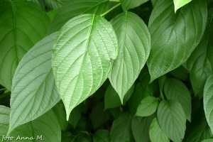 Cornus alba - dereń biały, liście z charakterystyczną nerwacją