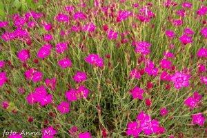 Dianthus deltoides - goździk kropkowany
