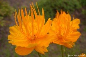 Trollius chinensis - pełnik chiński 'Golden Queen'