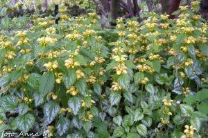 Lamiastrum galeobdolon - gajowiec żółty jest ozdobny z liści i kwiatów