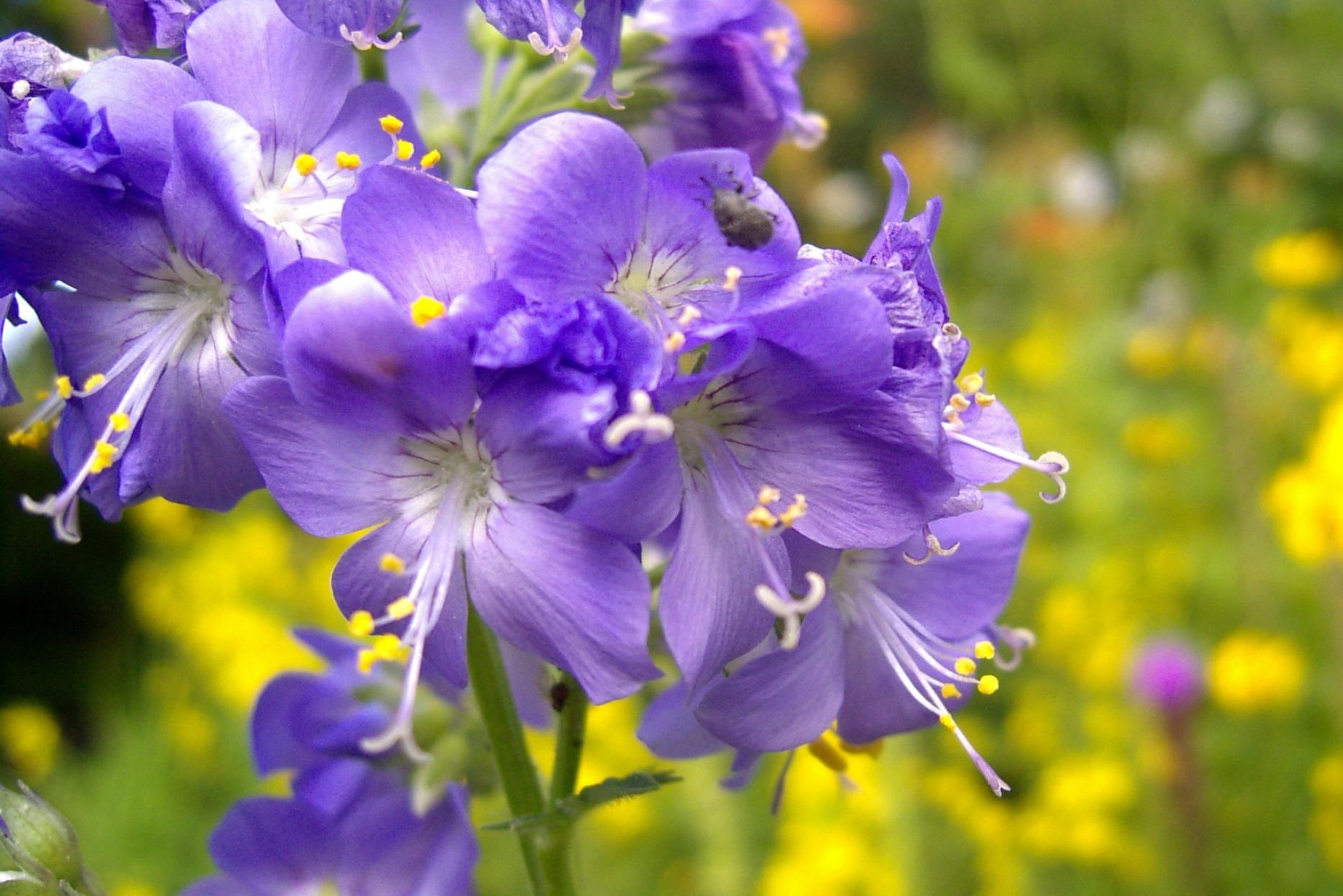 Polemonium caeruleum – wielosił błękitny