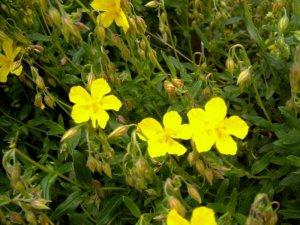 Helianthemum x hybridum – posłonek ogrodowy