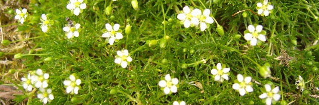 Sagina subulata, Sagina pilifera – karmnik ościsty