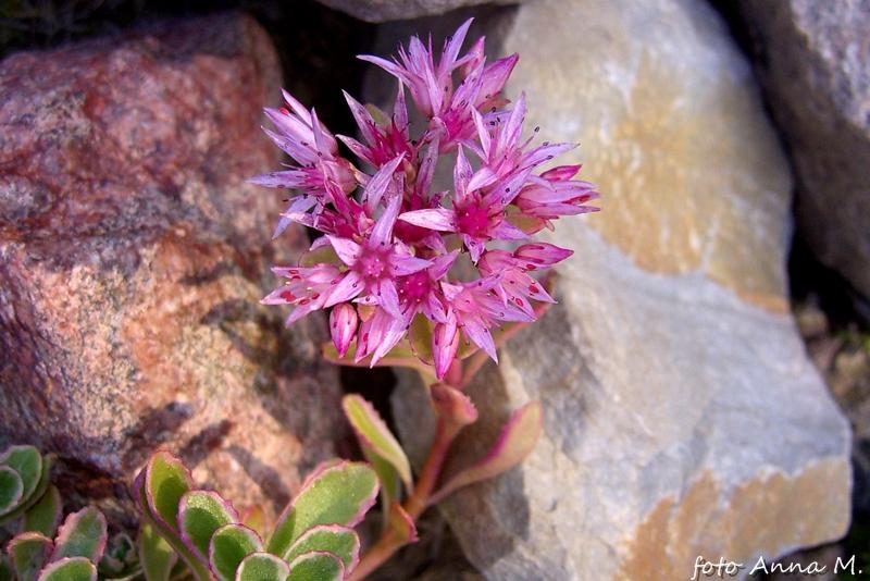 Rozchodnik kaukaski kwitnie na różowo