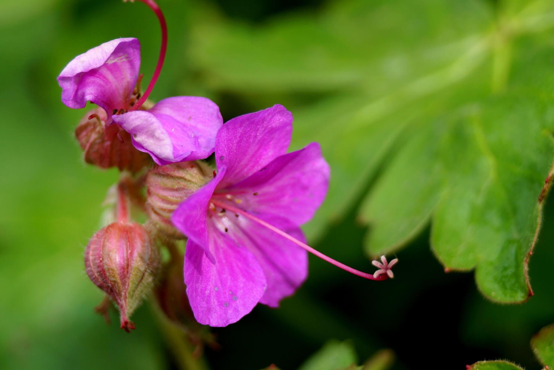 Geranium macrorrhizum – bodziszek korzeniasty