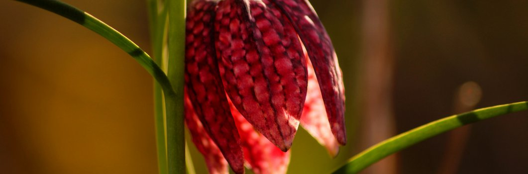 Fritillaria meleagris – szachownica kostkowata