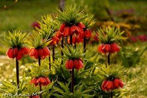 Fritillaria imperialis - szachownica cesarska