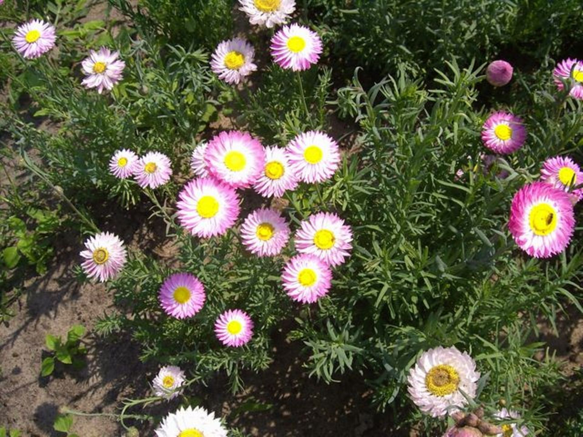 Helipterum roseum (Acroclinium roseum, Rhodanthe chlorocephala ) – suchlin różowy, suchołuska