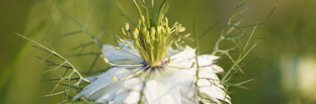 Nigella damascena – czarnuszka damasceńska
