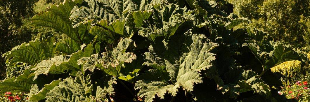 Gunnera manicata – gunnera olbrzymia, gunnera brazylijska, mamuci liść