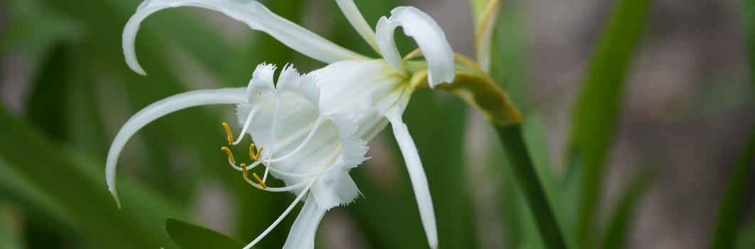 Hymenocallis festalis – błonczatka biała, ismena
