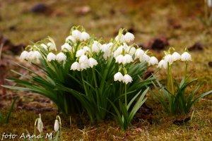 Leucojum vernum - śnieżyca wiosenna