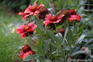 Gaillardia x hybrida - gailardia ogrodowa