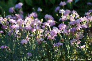 Dianthus plumarius - goździk pierzasty