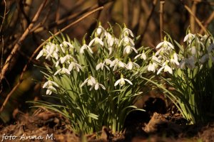 Galanthus nivalis - śnieżyczka przebiśnieg