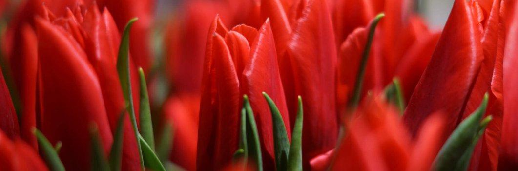 Tulipan – odmiany